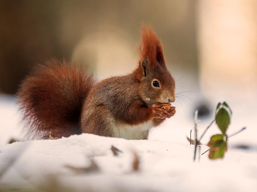 Braunschweigs Eichhörnchen beobachten